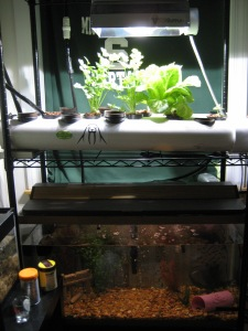 Small & Simple Aquaponic System